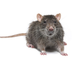 Pest control for rodents